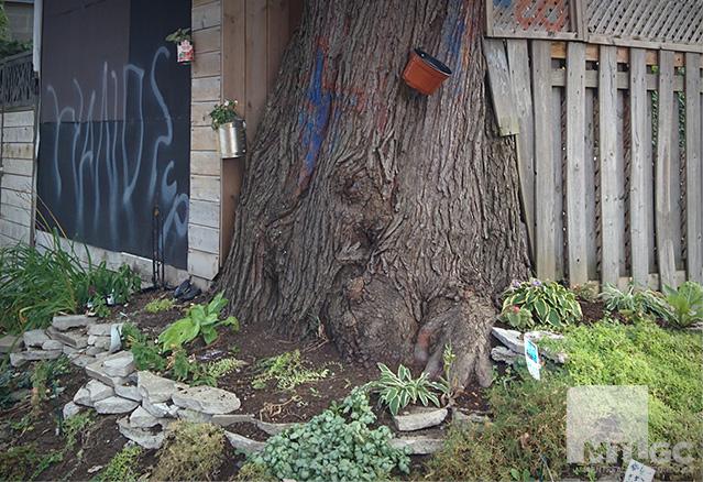 un gros arbre dans une ruelle verte d'Hochelaga