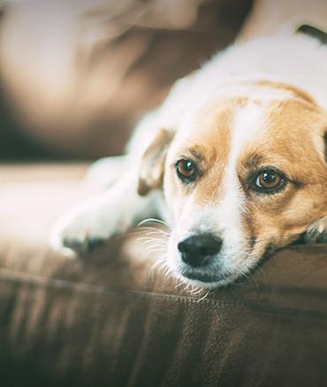 chien sur le divan dans une habitation neuve