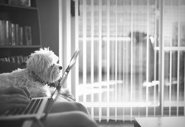 Petit chien dans le divan d'un condo avec un humain qui travaille sur l'ordinateur