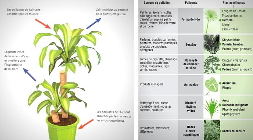 vertus des plantes d'intérieur schéma et liste